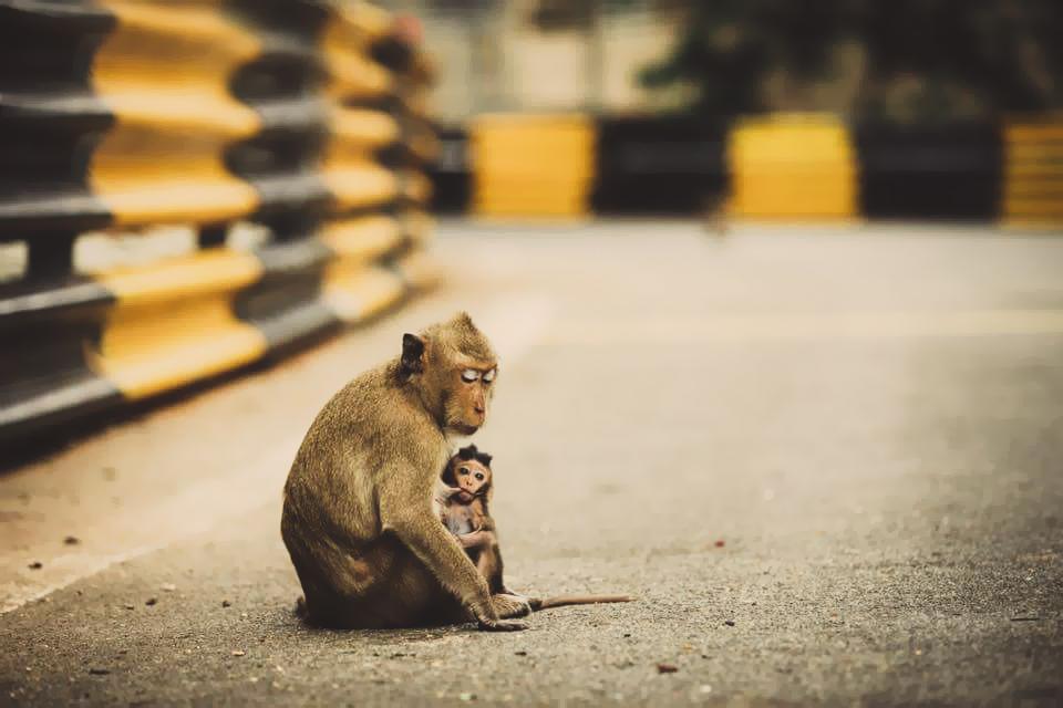 Monkeys at the Bangsaen Grand Prix